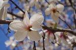 コブシの花.jpg